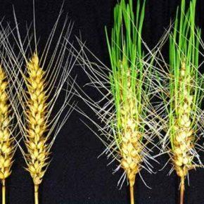 Японские селекционеры представили новый сорт пшеницы