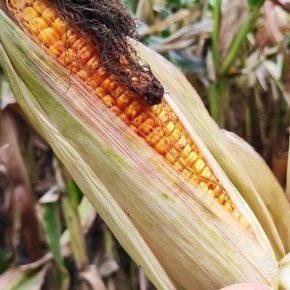 Из-за засухи аграрии севера Украины понесут рекордные потери урожая кукурузы — прогноз