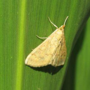 В этом году существует риск роста зимующего запаса кукурузного мотылька