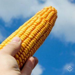 Украина входит в ТОП-5 стран Европы по площадям семеноводческих посевов кукурузы