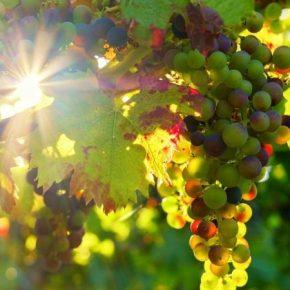 На Прикарпатье выращивают морозоустойчивые сорта винограда
