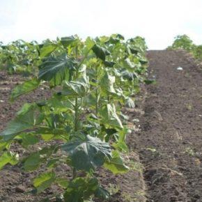 В Одесской области высадили более 10 га павловнії