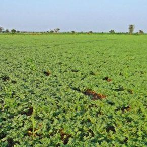 Инвестировать в выращивание нута выгодно уже сегодня — аналитики