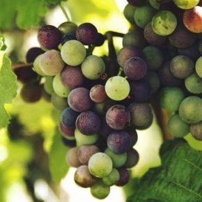 Выращивание винограда в теплицах окупается за 3 года — агроном