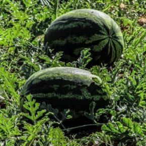 До трети урожая арбуза Херсон рискует потерять из-за жары