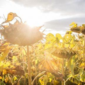 Аграрии юга Украины жалуются на низкую урожайность и цену подсолнечника