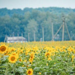 В 2019 году посевы яровых культур на Закарпатье уменьшились