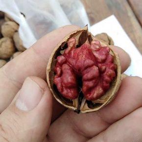 В Украине выращивают уникальные орехи с красным ядром