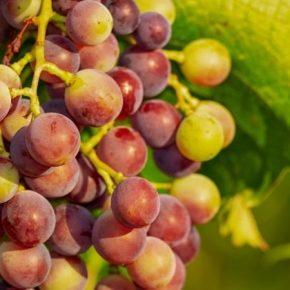 Днепропетровский садовник поделился секретами выращивания винограда