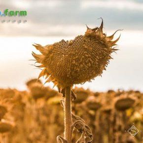 Конец лета в Украине отметился критическим дефицитом осадков — Метео Фарм