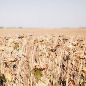 Из-за засухи аграрии юга Украины потеряли 20% урожая — мнение