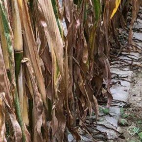 Французский фермер рассказал о преимуществах выращивания кукурузы под пленкой