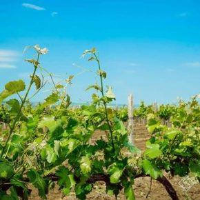 Аграрии жалуются на низкую рентабельность выращивания винограда
