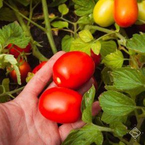 На Херсонщине в разгаре уборка урожая овощных культур