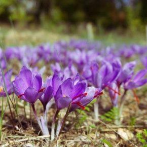 Отечественный производитель шафрана завершил высадку новой плантации крокусов