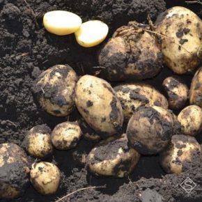 На Волыни зарегистрировали первого производителя семенного картофеля
