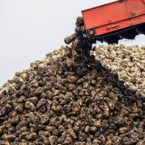 В Украине собрано четверть урожая сахарной свеклы