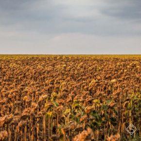 Названы области с самыми плохими показателями урожайности подсолнечника
