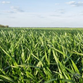 Недавние осадки пополнили запасы влаги в почве на полях