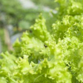 На Львовщине в промышленных масштабах выращивают органические салаты