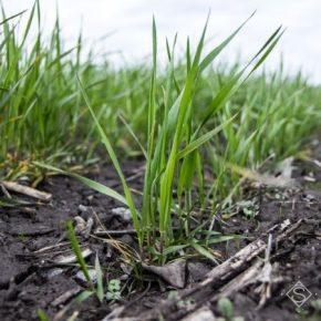 Ученые оценили состояние посевов озимых культур в Украине