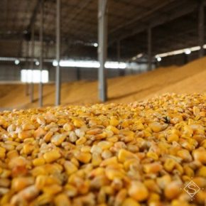 Названы области-лидеры по валовому сбору кукурузы в Украине