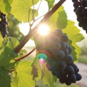Виноделы Николаевской области завершили уборку урожая