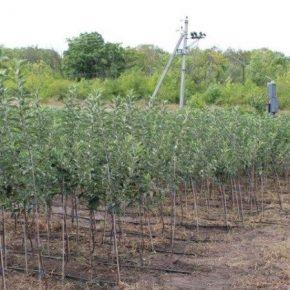 По голландской технологии на Днепропетровщине выращивают саженцы плодовых деревьев
