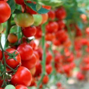 Для борьбы с томатной молью в Испании зарегистрировали органический инсектицид