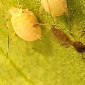 Насекомые-паразитоїди эффективны в борьбе с тлями