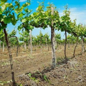 В Украине массово выкорчевывают виноградники
