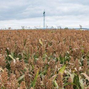 В Украине установили новый мировой рекорд по урожайности сорго