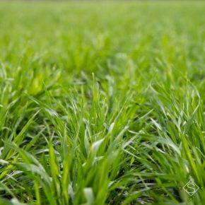 Ранние всходы озимой пшеницы вредители заселяют