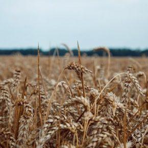 Исследовано, как на мировой урожай пшеницы повлияет глобальное потепление