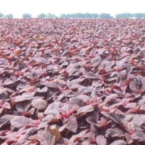 Названы самые благоприятные условия для выращивания амаранта