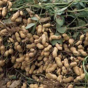 Аграриям рассказали о преимуществах выращивания арахиса