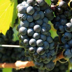 Инвестиции в виноградарство окупаются за 3-4 года — садовники