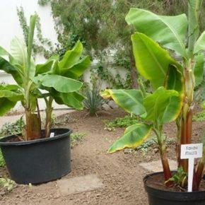 На юге Украины ученые выращивают бананы