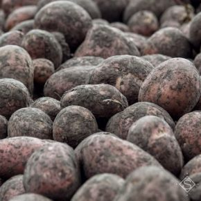 На Днепропетровщине собрано более полумиллиона тонн картофеля