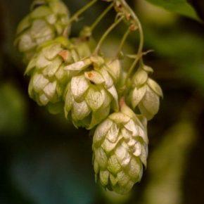 В Украине работают над развитием отрасли хмелеводства