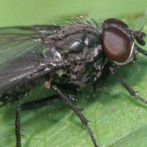 Озимым в Крыму вредит пшеничная муха