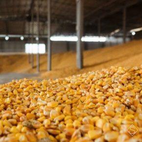 С полей осталось собрать менее четверти урожая кукурузы