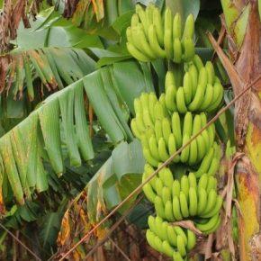Глобальное потепление угрожает урожаям бананов в мире