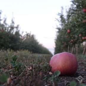 Садоводы уменьшили нормы внесения удобрений под яблони