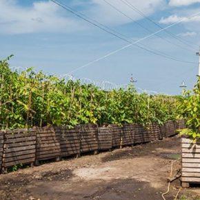 Бизнес по выращиванию орехов рискованный, но прибыльный — эксперты