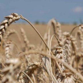 Названы самые продуктивные сорта пшеницы для подзоны перехода Лесостепи в Степь