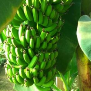 На Львовщине запустили первую банановую ферму