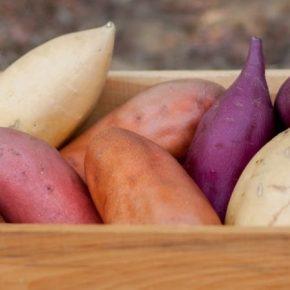 В Украине перспективно выращивание отечественные сорта батата