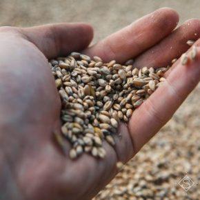В портах Одессы и Николаева зафиксировано падение закупочных цена на зерно