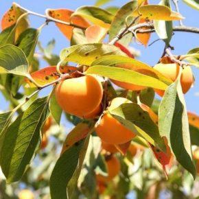 Кировоградский садовник поделился опытом выращивания хурмы